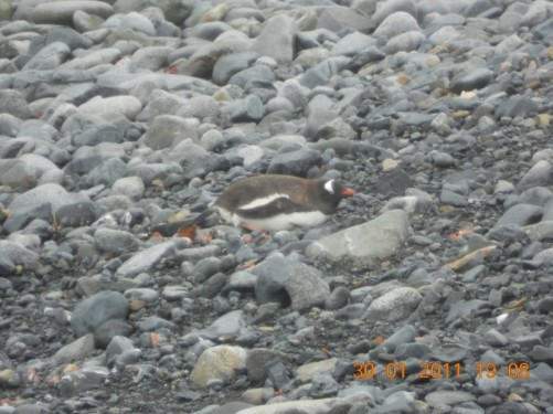 Gentoo penguin lying on the rocky beach.