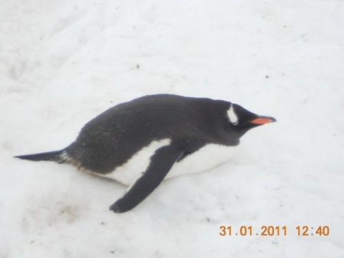 A Gentoo penguin lying on the snow.