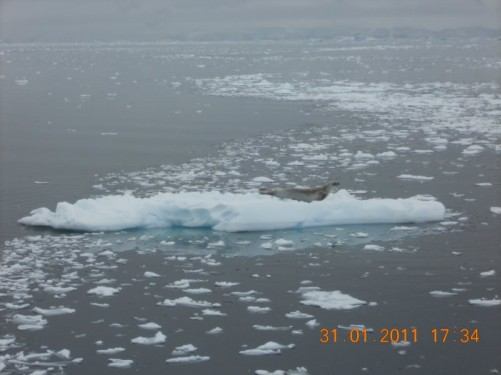 A seal on a small floating island of ice.
