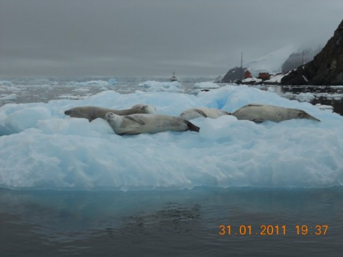 A closer view of the crabeater seals.
