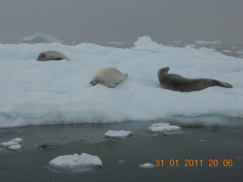 More crabeater seals stretched out on the ice.