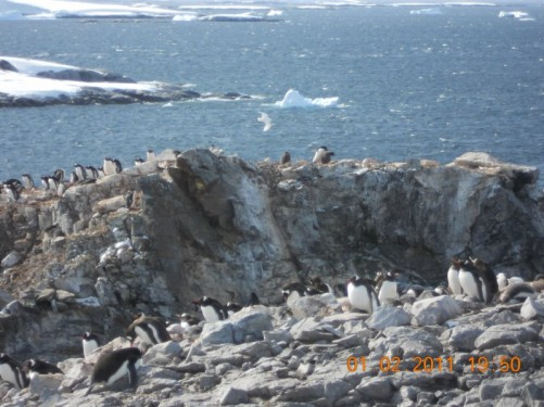More groups of Gentoo Penguins nesting on the rocks with the sea beyond.