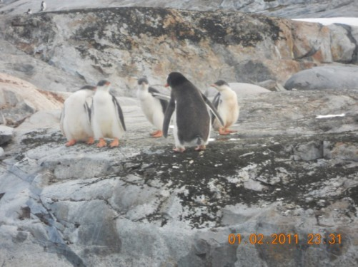 A group of Adelie penguins.