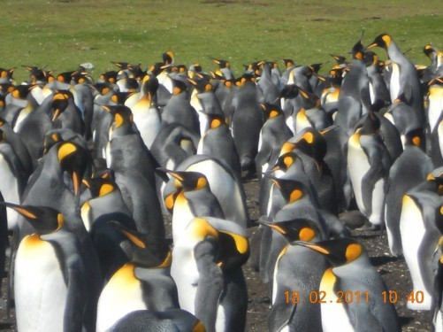 King Penguins in loud discussion, one of the largest of the penguin species.