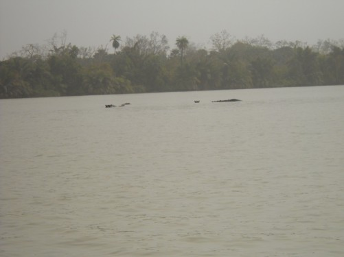 A group of hippos in the river.