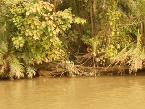 Another chimpanzee sitting amongst vegetation at the edge of the river.