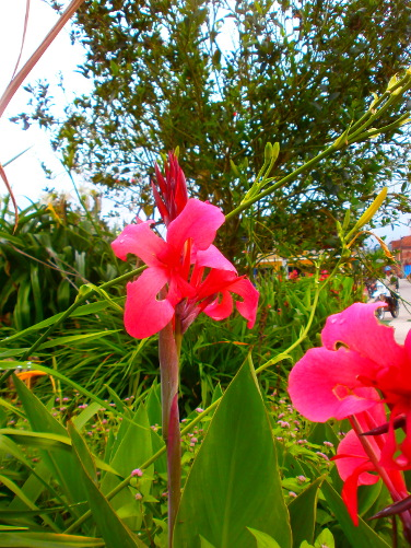 Close-up of a pinky-red flower growing in a flower bed in the town.