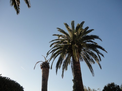 Tall palm trees in the palace gardens.