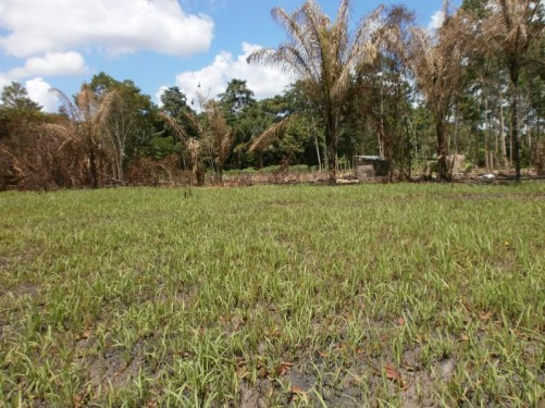 A crop growing in a field - could be recently planted sugar cane or cassava or another root vegetable. Palm trees behind.