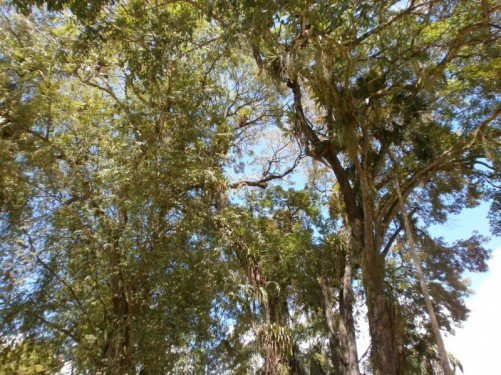 Looking up into the canopy of tall trees.