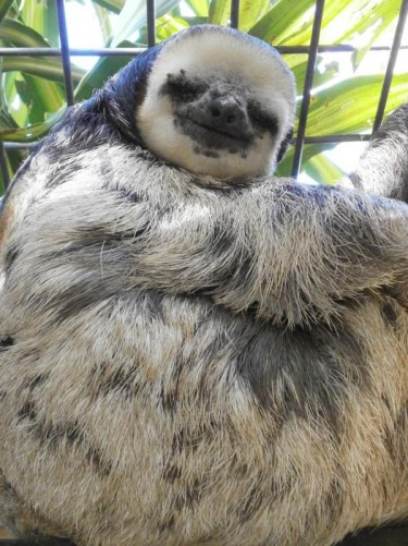 Close-up view of the sloth.