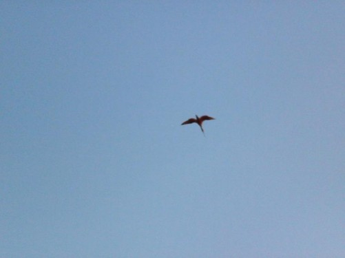 Another scarlet ibis flying overhead.
